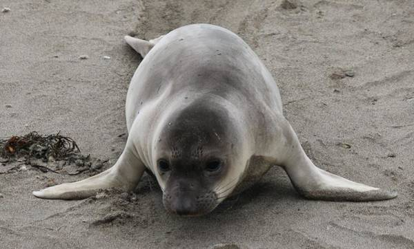 Photograph - Elephant Seal - 3 by Christy Pooschke