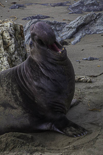 Seal Photograph - Elephant Seal Calling by Garry Gay