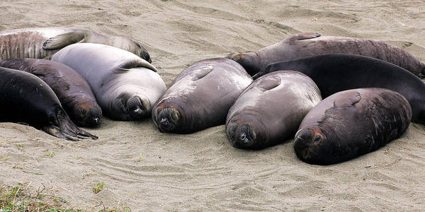 Photograph - Elephant Seals by Anthony Jones