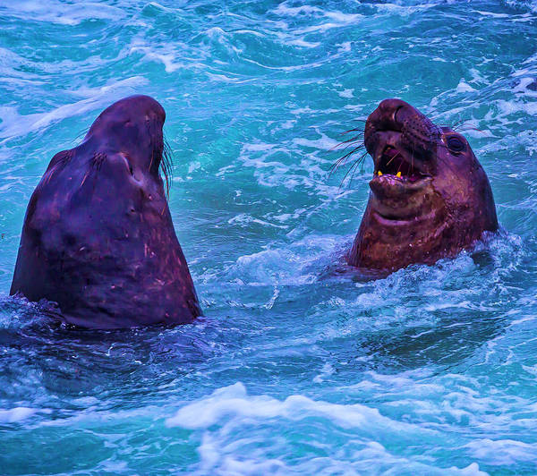 Cambria Photograph - Elephant Seals Fighting In Ocean Surf by Garry Gay