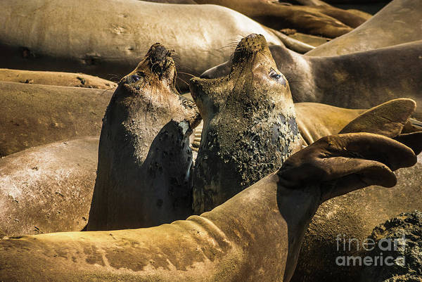 Photograph - Elephant Seals Molting by Blake Webster