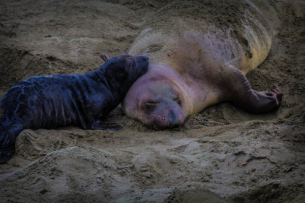 Cambria Photograph - Elephant Seals Mom And Pup by Garry Gay