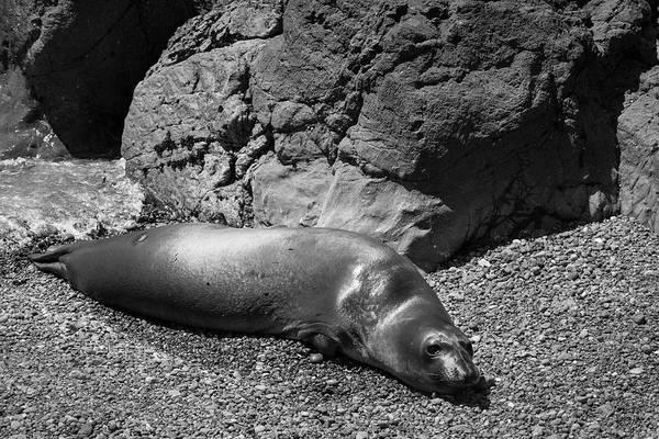 Photograph - Elephant Seals Vii Bw by David Gordon