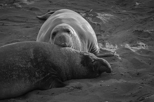 Photograph - Elephant Seals Viii Bw by David Gordon