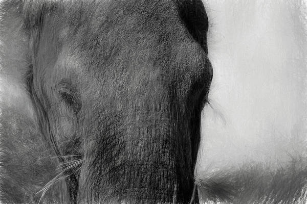 Photograph - Elephant Sketch In Black And White by Kay Brewer