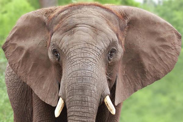 Photograph - Elephant by Tazi Brown