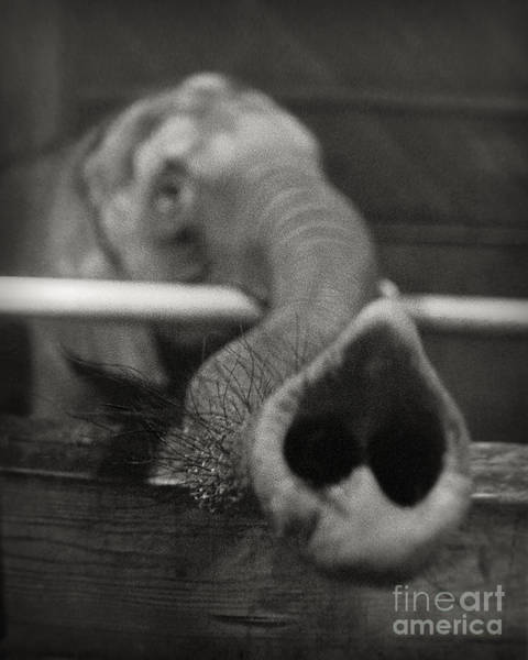 Photograph - Elephant Trunk by Martin Konopacki
