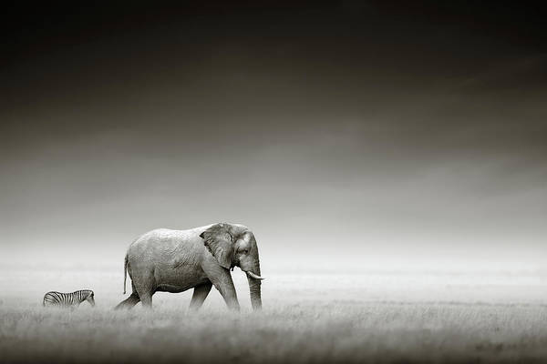 Grassland Photograph - Elephant With Zebra by Johan Swanepoel