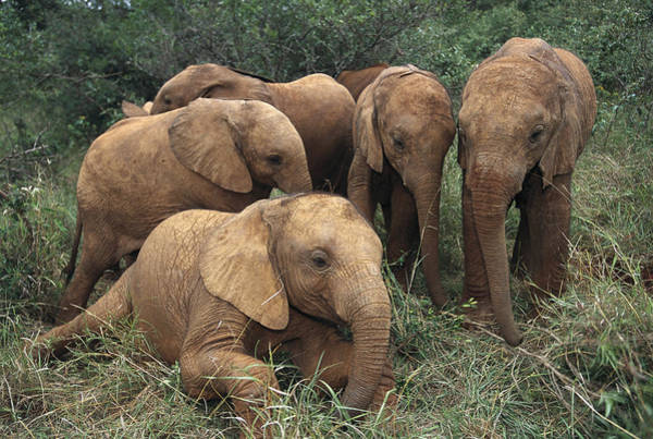Photograph - Elephant Youngsters Kenya by Gerry Ellis