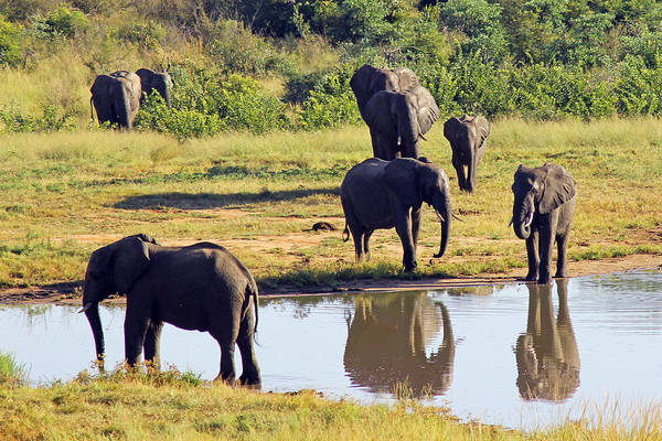 Photograph - Elephants At Ivory Lodge  by Tony Murtagh