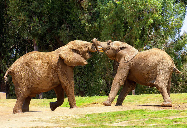 Elephants At Play 2 Art Print
