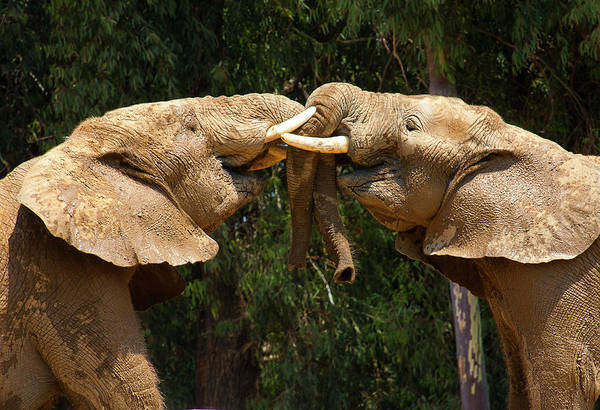 Photograph - Elephants At Play by Anthony Jones