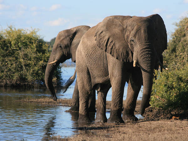 Photograph - Elephants At The River by Karen Zuk Rosenblatt