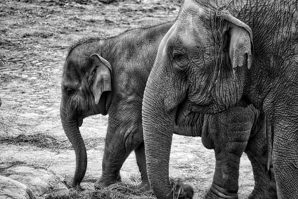 Photograph - Elephants Bw by Ingrid Dendievel