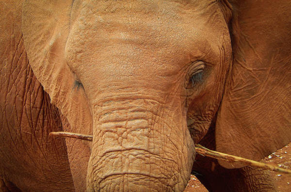 Photograph - Elephant's Child by Karen Rispin