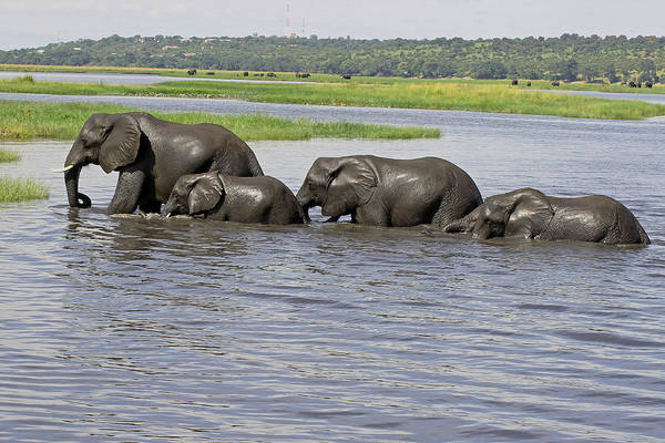 Photograph - Elephants Crossing Chobe River by Tony Murtagh