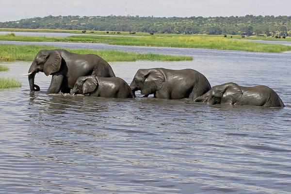 Photograph - Elephants Crossing Chobe River by Tony Murtagh