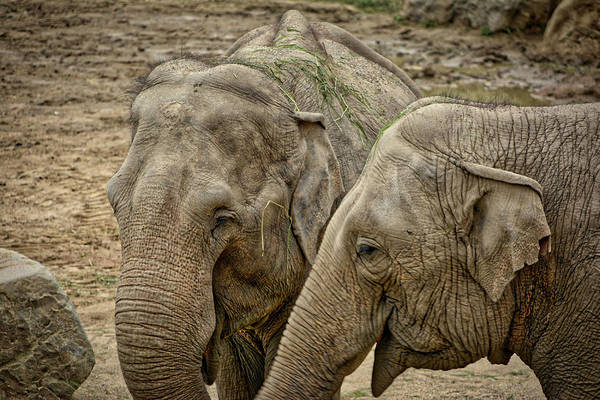 Photograph - Elephants by Ingrid Dendievel