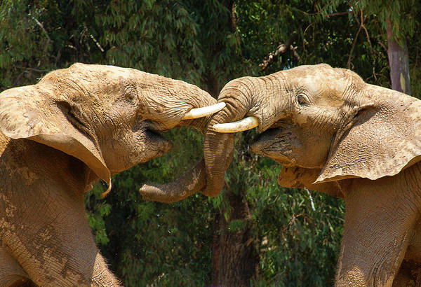 Photograph - Elephants Playing  by Anthony Jones