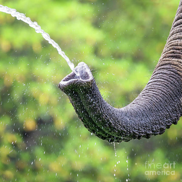 Wall Art - Photograph - Elephant Taking A Drink by Jane Rix