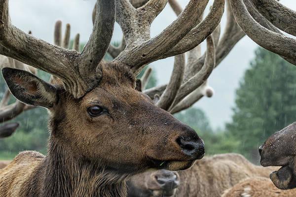 Photograph - Elk And Antlers by Belinda Greb