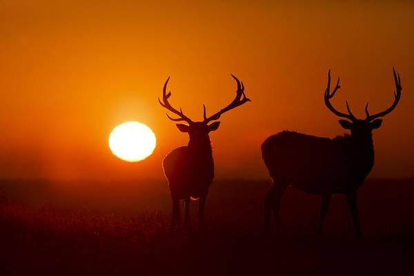 Photograph - Elk And Sunrise by Scott Bean