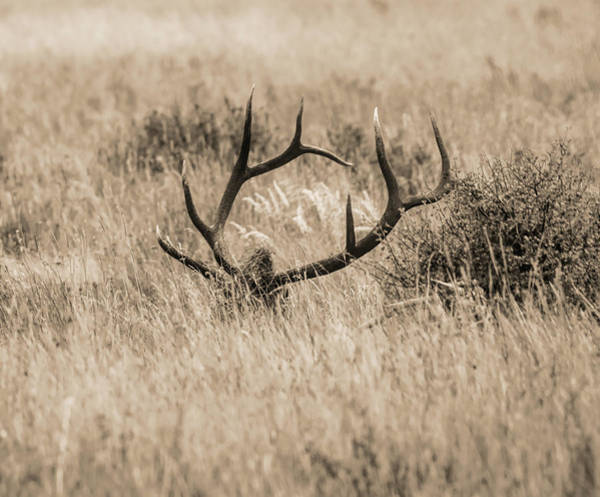 Photograph - Elk Antlers by Dan Sproul
