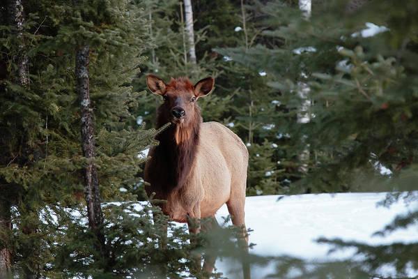 Waskesiu Photograph - Elk by Cesar Pineyro