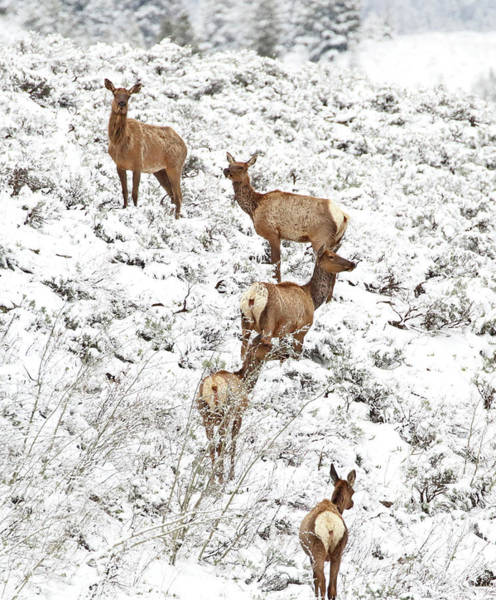 Photograph - Elk Cows In Snow by Jean Clark