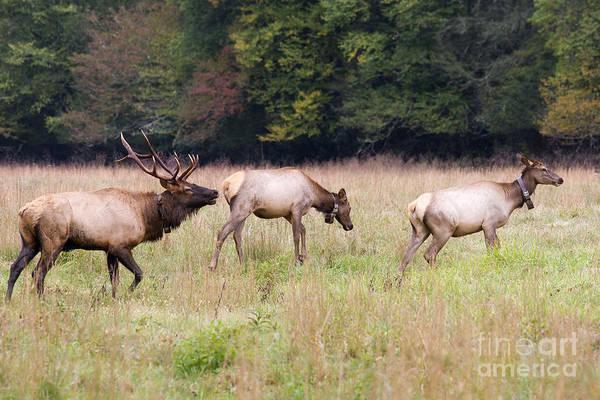 Photograph - Elk Family by Jill Lang