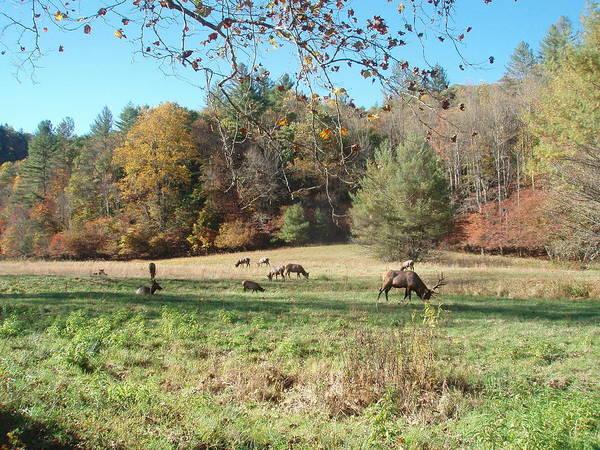 Photograph - Elk Grazing by Allen Nice-Webb