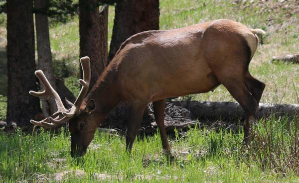 Photograph - Elk Grazing   by Christy Pooschke