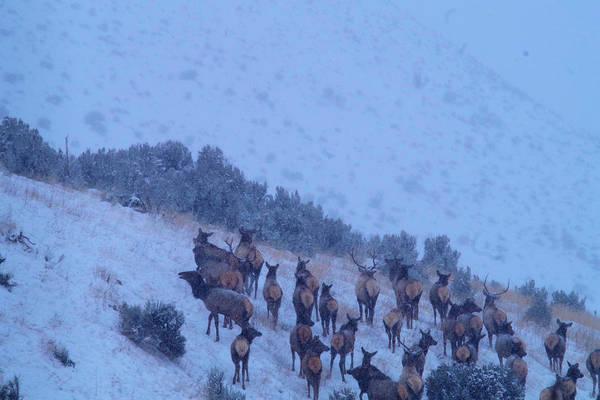 Wapiti Photograph - Elk Herd In  Snowfall by Jeff Swan