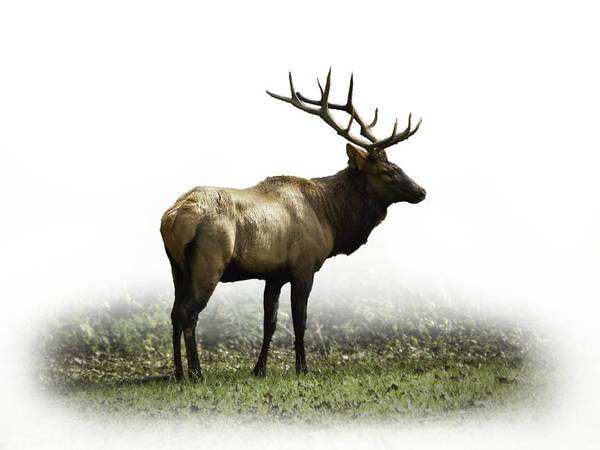 Photograph - Elk IIi by Debra and Dave Vanderlaan