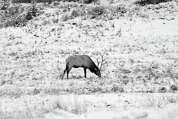Photograph - Elk In Black And White - Estes Park by Angie Tirado