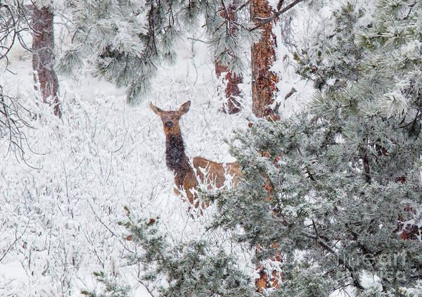 Photograph - Elk In Heavy Snow In The Colorado Rockies by Steve Krull