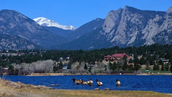 Photograph - Elk In Lake Estes 1 by Tranquil Light  Photography