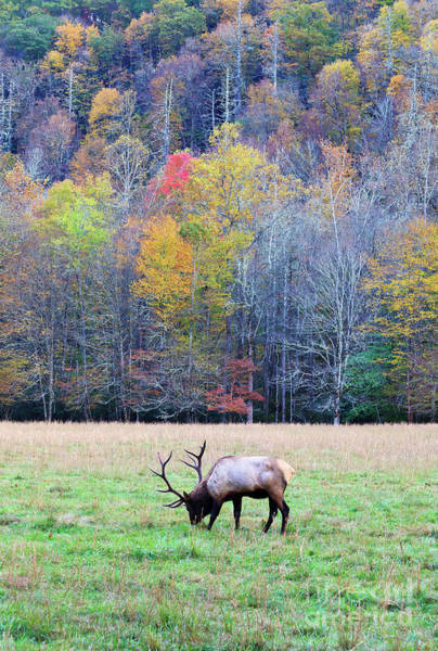 Photograph - Elk In The Field At Cataloochee by Jill Lang