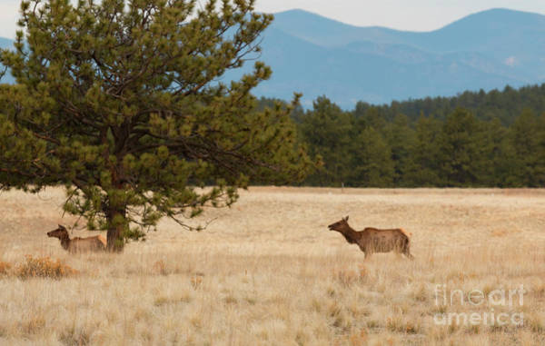 Photograph - Elk In The Fossil Beds by Steve Krull