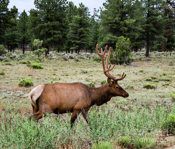 Photograph - Elk In The Sage by Susan Vineyard
