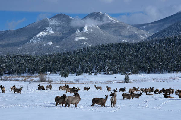 Photograph - Elk In The Snow by Tranquil Light  Photography