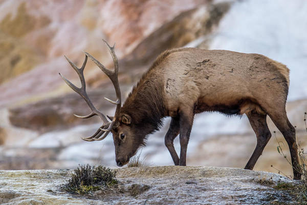 Wall Art - Photograph - Elk In Yellowstone by Paul Freidlund