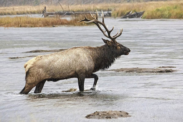 Photograph - Elk In Yellowstone by Wes and Dotty Weber