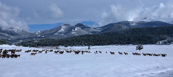 Photograph - Elk On A Snow Covered Moraine by Tranquil Light  Photography