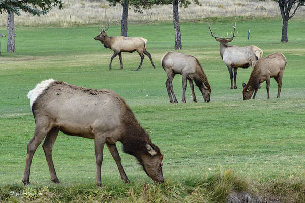Elk On Golf Course Estes Park Colorado Art Print