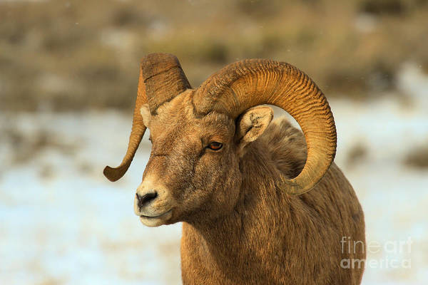 Photograph - Elk Refuge Bighorn Ram by Adam Jewell