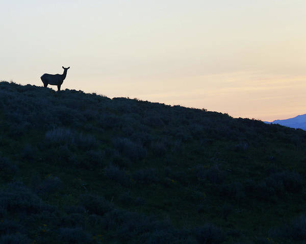 Photograph - Elk Silhouette At Sunset by Dan Sproul