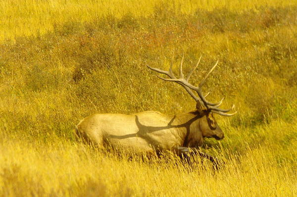 Wapiti Photograph - Elk Stomping In A Puddle by Jeff Swan