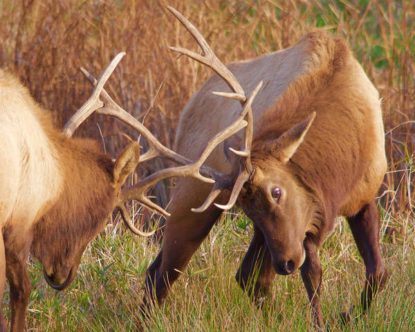 Photograph - Elk Tussle by Todd Kreuter