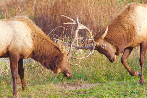 Photograph - Elk Tussle Too by Todd Kreuter